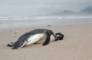 In this photo released by Aquario Municipal de Peruibe, a dead penguin sits on the sand at Peruibe beach in Sao Paulo state, Brazil, July 17, 2010.