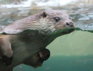An otter bit a triathlete 25 times.