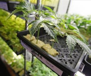 This image provided by the Bay Area News Group shows cloned marijuana plants that are for sale at Harborside Health Center on Thursday, July 12, 2012 in Oakland, Calif.