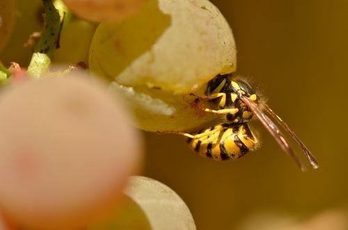 Как сделать чтобы осы не ели виноград 438