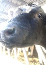 A worker shot footage over two weeks in June revealing heartbreaking treatment of dairy cows before slaughter.