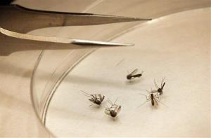 Mosquitos are sorted at the Dallas County mosquito lab in Dallas, Thursday, Aug. 16, 2012.