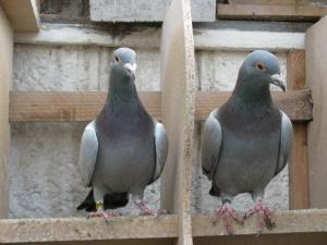 Homing pigeons are disappearing in the UK.