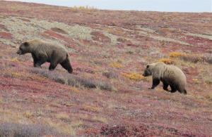 In this Sept. 11, 2011 photo, two bears walk across the tundra at Denali National Park and Preserve, Alaska. A bear killed a backbacker on Friday, the first bear-killing in the park's history.