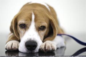 Beware beagles bearing gifts.