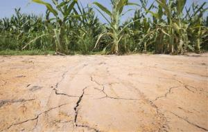 The ground is cracked at the edge of an irrigated corn field near England, Ark., Friday, July 6, 2012.