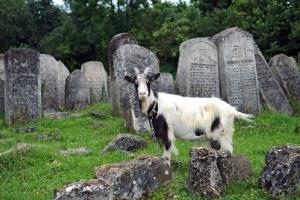 A goat in a graveyard.