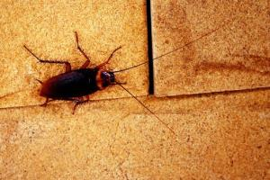 Eating cockroaches isn't usually deadly, experts say.
