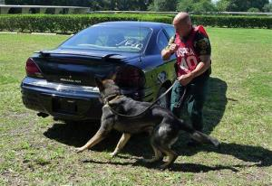 In this file photo, a police dog searches for drugs in a car at a canine competition.