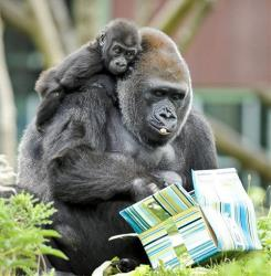 A baby western lowland gorilla clings to his mother at Bristol Zoo Gardens in Bristol, Britain Wednesday, Sept. 26, 2012.