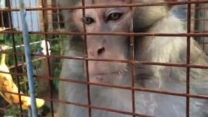 A frame grab of the mystery monkey from the Tampa Bay Times video.