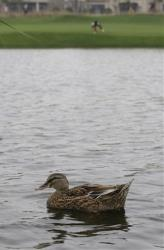 Ducks are generally well-equipped to deal with wet conditions.