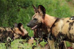 African painted dogs.