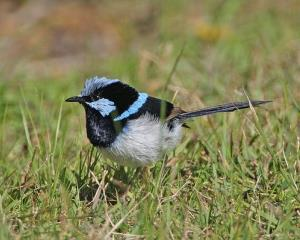 A 'superb fairy wren.'