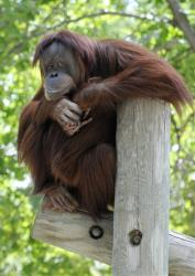 An adult Sumatran orangutan watches the crowd from its perch at the Como Zoo  in St. Paul, Minn.