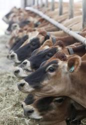 Jersey cows line up to feed at a dairy farm in this file photo.