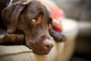Dogs appear to be experts at detecting lung cancer.