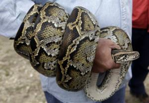 A Burmese python is coiled around the arm of hunter in the Florida Everglades in this 2010 file photo.