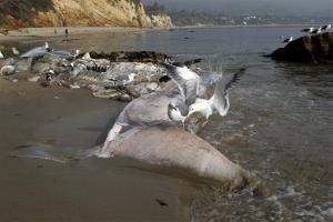 Sea birds pick at the carcass of a young male fin whale that washed up Monday between the Paradise Cove and Point Dume areas of Malibu, Calif. yesterday.