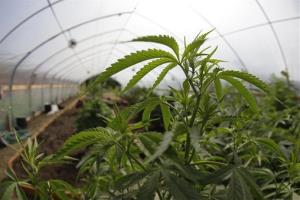 In this May 13, 2009 file photo, marijuana grown for medical purposes is shown inside a greenhouse at a farm in Potter Valley, Calif in Mendocino County.