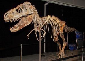 The fossil of a Tyrannosaurus bataar dinosaur at the center of the case.