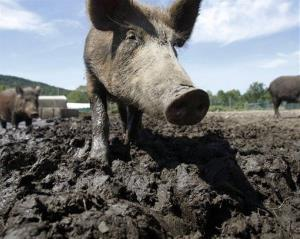 In this Aug. 24, 2011 photo, a feral hog stands in a holding pen at Easton View Outfitters in Valley Falls, NY.
