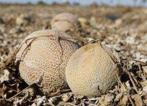 This 2011 file photo shows cantaloupes rotting in the afternoon heat on a field near Holly, Colo.