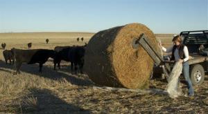 In this  Nov. 20 photo, Debbie Blythe feeds cattle on her farm near White City, Kan.