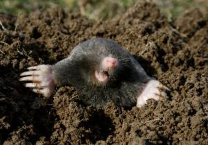 Moles can smell in stereo, a new study suggests.