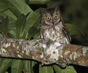 This undated photo taken by independent researcher Philippe Verbelen,  shows a Rinjani Scops owl perching on a tree on Lombok island, Indonesia.