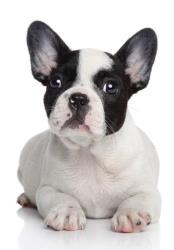 File image of a French bulldog puppy.