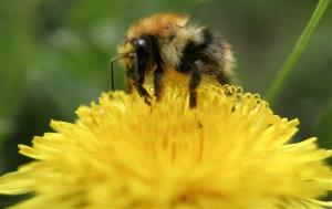 A bumblebee crawls on the blossom of a dandelion in Minsk, Belarus, Wednesday, May 6, 2009.