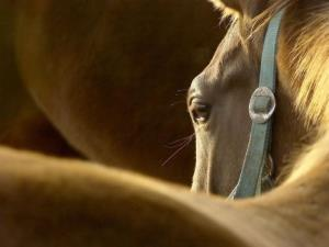 Horse meat could soon be legally produced in the US.