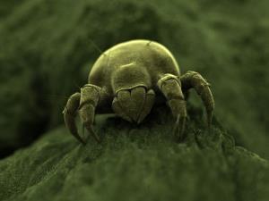A tiny mite.