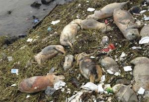 In this photo made available Sunday, March 10, 2013, dead pigs are strewn along the riverbanks of Songjiang district in Shanghai, China.