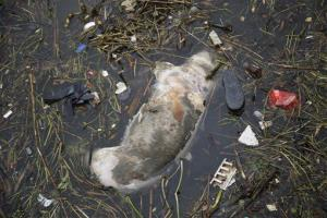 A dead pig floats on the river Monday, March 11, 2013 on the outskirts of Shanghai, China.
