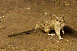 A rat wandering the subway tracks at Union Square in New York, from June 15, 2010.
