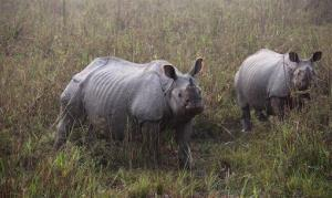 One-horned rhinoceros' look at tourists at Kaziranga national park in India.