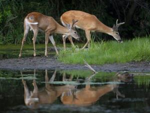 A pair of white-tailed deer bucks feed by waters edge at dusk, but not in DC.