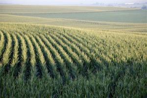 A July 19, 2012, file photo shows a corn field near Springfield, Neb.