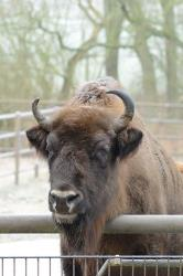 File photo of a wisent.
