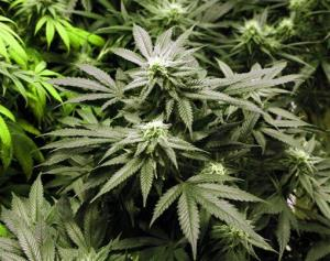 This file photo shows marijuana plants flourishing under the lights at a grow house in Denver.
