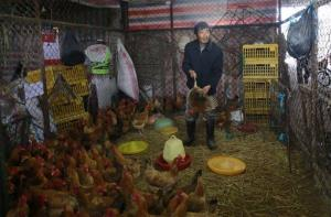 A worker catches a live chicken at a poultry market in Shanghai, China earlier today.