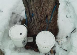 This March 12 photo released by Maine Forest Rangers shows an illegally tapped maple tree in northern Maine.