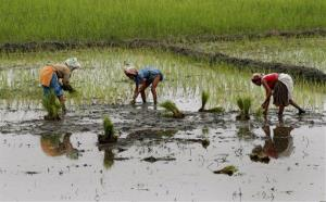 Mishing women work in a paddy field at Jengraimukh in Majuli, a 163 square-mile island, about 220 miles east of Gauhati, India.