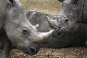 African rhinoceroses are seen at Bao Son Paradise Park, a private zoo in Hanoi, Vietnam.