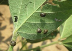 This 2010 photo provided by Clemson University shows adult kudzu bugs infesting a soybean plant in a field near Athens, Ga.