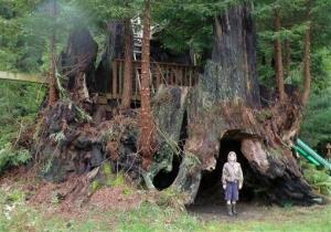 This photo provided by Archangel Ancient Tree Archive shows an unidentified person standing beside a coastal redwood tree near Crescent City, Calif., that is among dozens the group has cloned.
