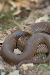 The king brown, or mulga, snake.