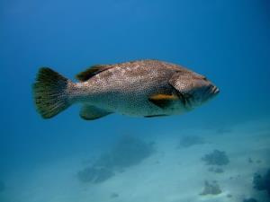 Groupers help their hunting pals through sign language of sorts, a new study says.